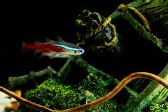 Neonfische Lizenzfreies Stockbild