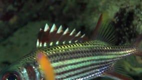Neoniphon argenteus dello squirrelfish di Clearfin nel corallo del Mar Rosso Sudan video d archivio