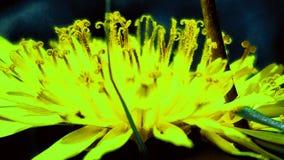 Neonpaardebloem Royalty-vrije Stock Foto's