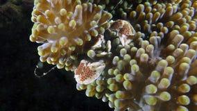 Neopetrolisthes maculatus eller prickig porslinkrabba Arkivfoto
