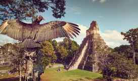 Neophron looking at the ancient ruins of Mayan city royalty free stock photography