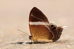 Neophron/mariposa de Abisara Foto de archivo