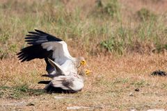Neophron percnopterus, egyptian vultures in meeting time, Lumbini, Nepal Stock Photo
