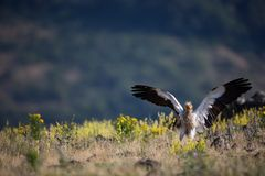 Neophron percnopterus. The wild nature of Bulgaria. Free nature. A beautiful picture of nature. Rhodopes. Big bird. Mountains in B. Ulgaria. European wildlife royalty free stock photography