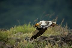 Neophron percnopterus. The wild nature of Bulgaria. Free nature. A beautiful picture of nature. Rhodopes. Big bird. Mountains in B. Ulgaria. European wildlife royalty free stock images