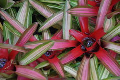 Neoregelia background Royalty Free Stock Photo