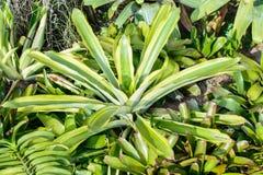 Neoregelia Bromeliad plant in garden.  Royalty Free Stock Image