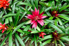 Neoregelia Bromeliads. The most brightly colored bromeliad with leaves arranged in a circular pattern and form a water holding cup in the center Stock Images