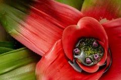 Neoregelia kwiat z purpurowymi kwiatami zdjęcia stock