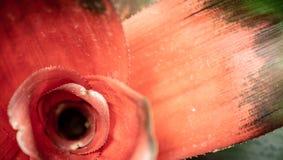 Neoregelia-Nahaufnahme mit ausf?hrlichen Farben stockbilder