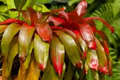 Neoregelia plant, Caribbean Stock Photo
