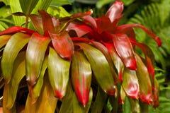 Neoregelia plant, Caribbean. Neoregelia in botanical garden, Barbados, Caribbean Stock Photo