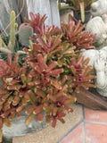 Neoregelia plant. Neoregelia plant in the garden Royalty Free Stock Image