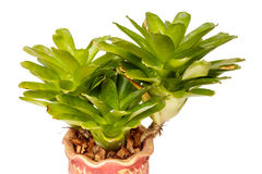 Neoregelia in pots on White background. Neoregelia in pots on White background and isolated Stock Photography