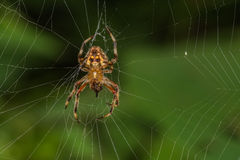 Neoscona crucifera蜘蛛 免版税库存图片