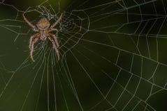 Neoscona Crucifera Spider Stock Photos