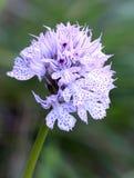 neotinea commutata ter στοκ εικόνες
