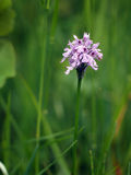Neotinea tridentata, the three toothed orchid Stock Images