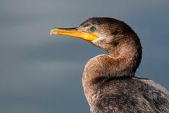 Neotropic cormorant Stock Photography