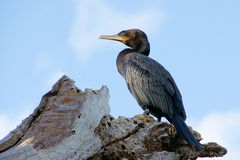 neotropic cormorant Royaltyfri Bild