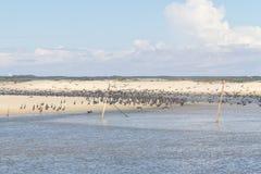 Neotropic Cormorant on the beach Stock Photos