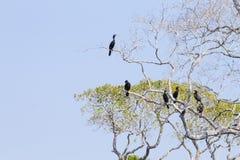 Neotropic cormorant on the nature in Pantanal, Brazil. Brazilian wildlife stock image