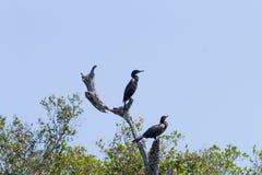 Neotropic cormorant on the nature in Pantanal, Brazil. Brazilian wildlife stock photography