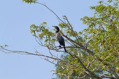 Neotropic cormorant on the nature in Pantanal, Brazil. Brazilian wildlife royalty free stock images