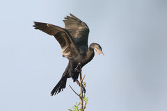 Neotropic Cormorant Perched in a Tree Royalty Free Stock Photo