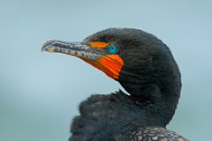 Neotropic Cormorant, Phalacrocorax brasilianus, detail portrait with light blue eye, clear background, Belize. Neotropic Cormorant, Phalacrocorax brasilianus Stock Photos