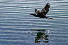 Wildlife: Neotropic Cormorant is used for fishing by the Uru Tribe