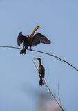 Neotropic Cormorants perched on branches Royalty Free Stock Photo