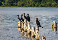 Neotropic Cormorants in a pier - Flores, Peten, Guatemala Stock Images