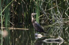 Neotropic-Kormoran, Sweetwater-Sumpfgebiete Tucson Arizona, USA Stockfotos