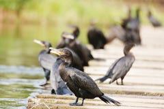 Neotropic kormorany Zdjęcie Stock