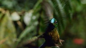 剑开帐单的蜂鸟是从厄瓜多尔,剑开帐单的蜂鸟的一个neotropical种类 他是高昂和喝 库存图片