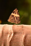 Neotropical Mosaic butterfly Stock Photography