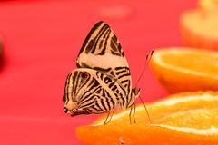 Neotropical Mosaic butterfly Royalty Free Stock Photo