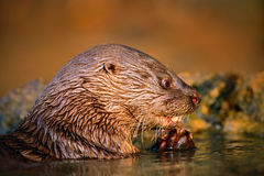 Neotropical Otter, Lontra longicaudis, feeding kill fish in the water, on the rock river coast, rare animal in the nature habitat, Stock Images