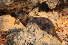 Neotropical Otter, Lontra longicaudis, sitting on the rock river coast, rare animal in the nature habitat, Rio Negro, Pantanal, Br Royalty Free Stock Photos