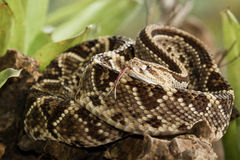 Neotropical Rattlesnake Royalty Free Stock Images