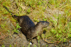 Neotropical River Otter. (Lutra longicaudis Stock Photos