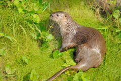 Neotropical River Otter. (Lutra longicaudis stock images