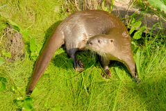 Neotropical River Otter. (Lutra longicaudis stock photo