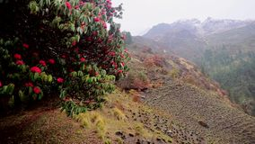 Flowering rhododendrons in the mountains of Nepal stock video footage