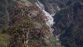 Flowering rhododendrons in the mountains of Nepal stock footage