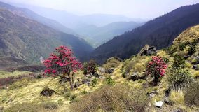 Flowering rhododendrons in the mountains of Nepal stock video
