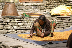 Nepal Bean Counter. Nepalese woman sorts through her produce of beans gathered from local fields, taken in mountain village Royalty Free Stock Image