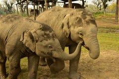 Nepal Chitwan nationalpark elefanter arkivbilder