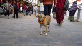 NEPAL - 11 DE NOVIEMBRE DE 2018: Perro que lleva el collar amarillo de la flor y a Dot Tika rojo durante el festival de Kukur Tih almacen de video